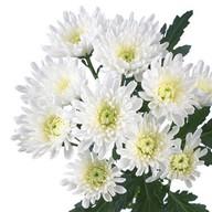 Хризантема кустовая белая Фото