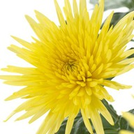 Хризантема одиночная желтая Фото