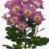 Хризантема кустовая цветная Фото