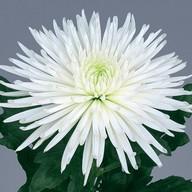 Хризантема одиночная белая Фото
