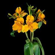 Альстромерия желтая Фото
